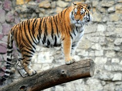 1401219246000-Axx-tiger-V2-22