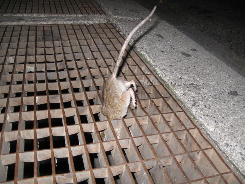 rats NYC thru the grate