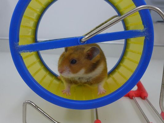 Hamster USA Today